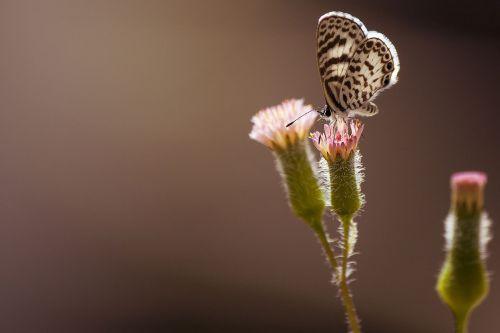 drugelis,gamta,skristi,makro,sparnai,vabzdžiai,gyvūnai