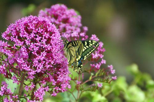 drugelis,drugeliai,gėlės,buddleja,spalvos,drugys,vabzdžiai