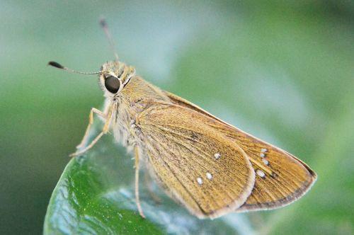 drugelis,rhopalocera,mažytė drugelis,mažas drugelis,intarpas,kenkėjas,sodas,žalias,gamta,gėlės,hobis,Šri Lanka,Mawanella,ceilonas