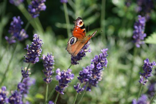 drugelis,ant gėlių,ruduo,gėlės,ant gėlių,gyvūnas,vasara,sodas