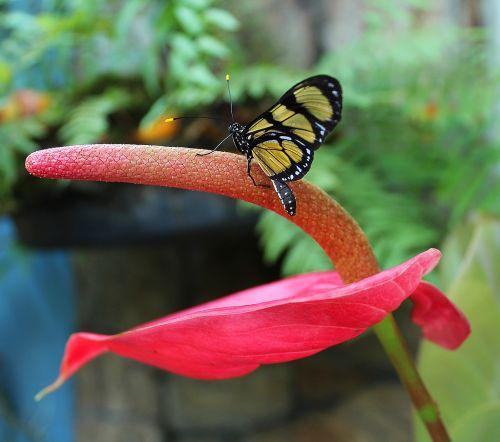 drugelis,gėlė,gamta,augalas,raudona,gėlės,spalvos