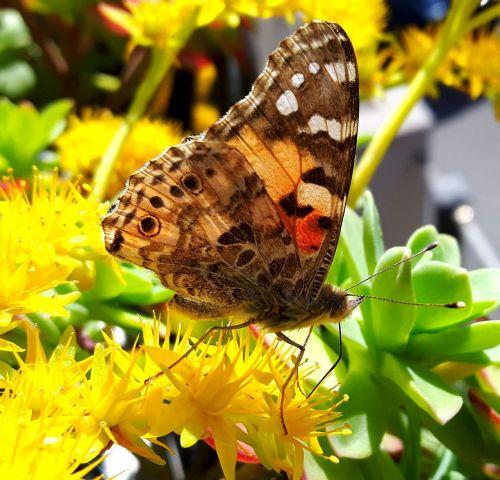 drugelis,spalvos,vasara,vabzdžiai,laisvė,gėlės,grožis