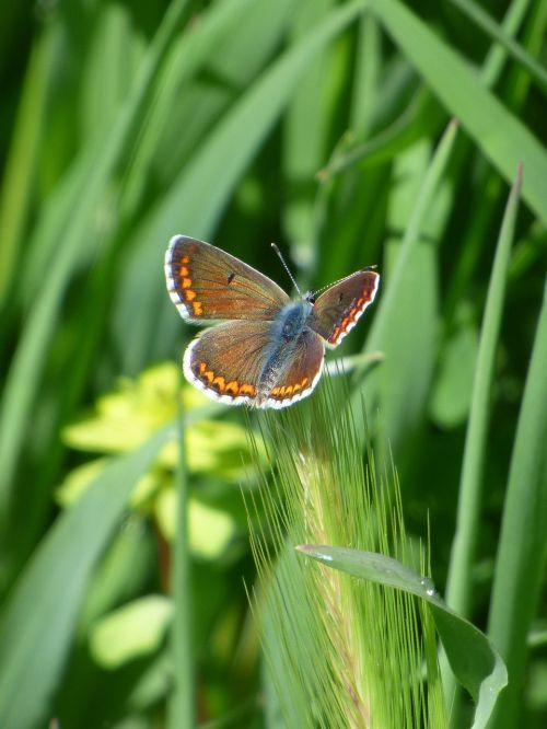 drugelis,aricia cramera,brunetė,moreneta southern,stiebas