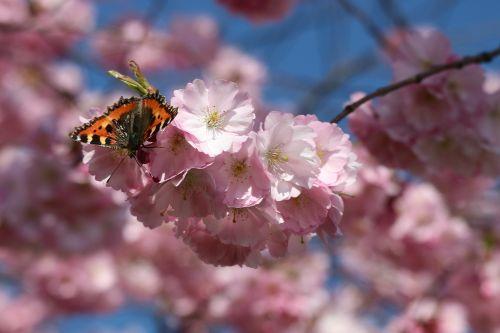 drugelis,žiedas,žydėti,japonų vyšnios,pavasaris,gamta