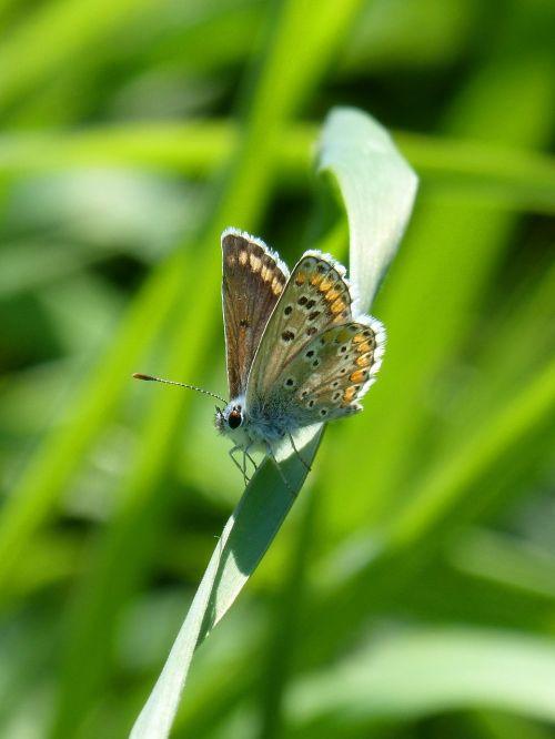 drugelis,brunetė,moreneta southern,aricia cramera,lapai