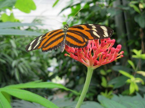 drugelis,vabzdys,sparnas,žiedas,žydėti,gamta,fauna