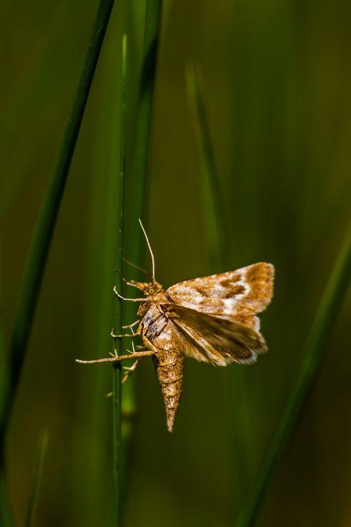 drugelis,gamta,vabzdys,skraidantys vabzdžiai,nariuotakojų,sparnuotas