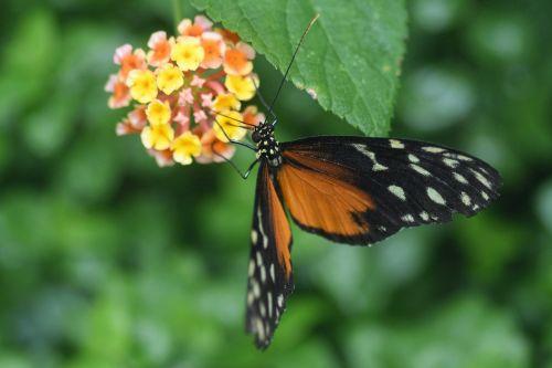 drugelis,egzotiškas,hécalé,heliconius hecale,gėlės