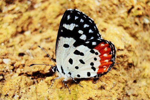 drugelis,rhopalocera,delta,Šri Lanka,Mawanella,ceilonas