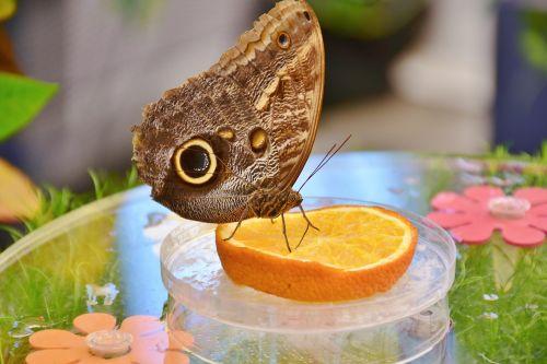 drugelis,pelėdos drugelis,edelfalter,akys,sparnas,maitinimas,gyvūnas,vabzdys,drugelis namas,valgyti,vaisiai,saldus,mityba,proboscis,atogrąžų namas,maistas,egzotiškas,maistas,atogrąžų,maitinti