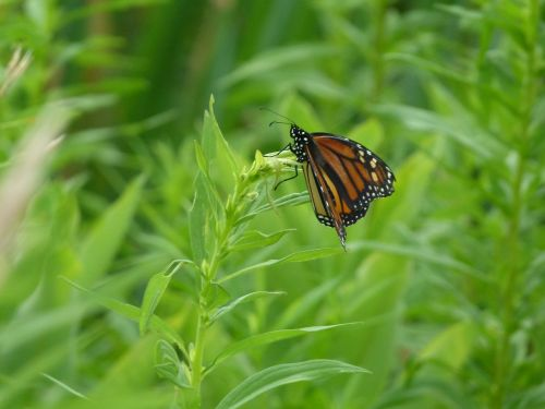 drugelis,monarcho drugelis,monarchas,vabzdys,oranžinė,juoda,klaida,makro,sodas,lepidoptera,izoliuota drugelis