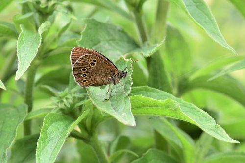 drugelis,gyvūnų vabzdys,gamta,vabzdys,makro,Uždaryti,žolės