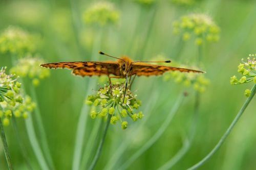 drugelis,gėlė,žiedas,žydėti,vabzdys,gamta,rožinis,makro,vasara,vikšras,rožė,Povų drugelis,gėlių ornamentas,floribunda,ornamentas,oras,lietus,derinti,pikonija,gyvūnas,vanduo,dahlia,gražus,sparnas,vasaros gėlės,pieva,gėlių pieva,Uždaryti,augalas,žalias,sodas,žydėti,spalvinga,vasaros pabaigoje,žolė,farbenpracht,laukinė gėlė,purpurinė gėlė,oranžinė,laukinės gėlės,flora,violetinė,saulėtas,mėlynas,ruduo,laukiniai augalai,saulėgrąžos,spalva,oranžinė gėlė,geltona,gražios spalvos,lapai,romantiškas,nuotaika