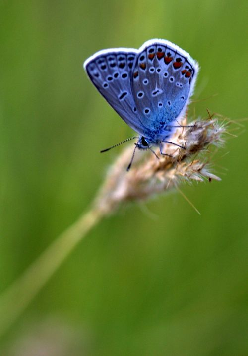 drugelis,mėlynas,spiglys,poilsis