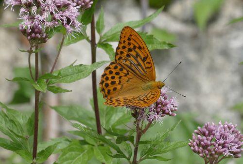 drugelis,drugeliai,imperijos kailis argynnis paphia