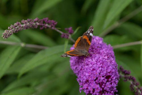 drugelis,vasaros alyvinė,buddleja davidii,sodas
