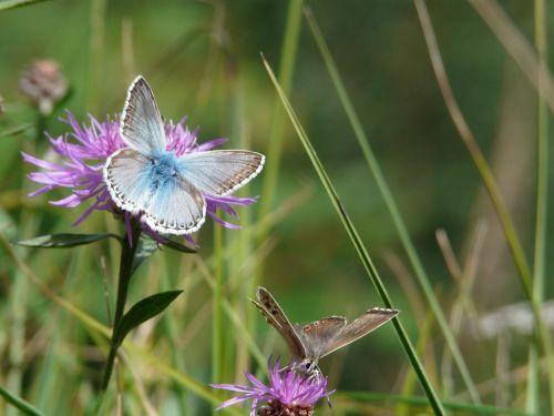 drugelis,vabzdys,gamta,vabzdžiai,gėlė,Alpės,kalnas