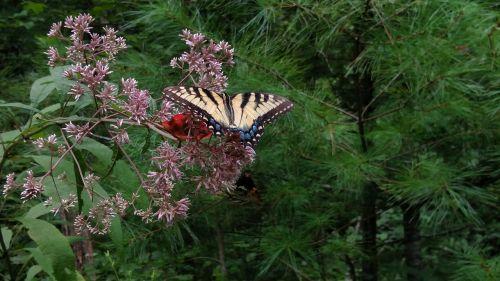 drugelis,tigro drugelis,ąžuolas-tigras-drugelis,gamta,juoda,geltona,nektaras,gėlė