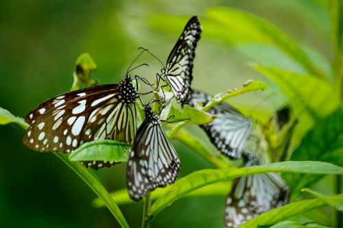 drugelis,mėlyna tigro drugelis,drugelio grupė,daug,gražus,tirumala limniace,mėlynas tigras,šepetėliu drugelis,drugelio šeima,mėlynas,vabzdys,tigras,šviesus,spalvinga,sodas,laukiniai,gamta,natūralus,sparnas,žalias,skristi,laukinė gamta,lauke,grupė,šeima,juoda