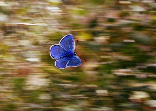 drugelis,panning,mėlynas,sparnai,skrydis,insekta,gamta