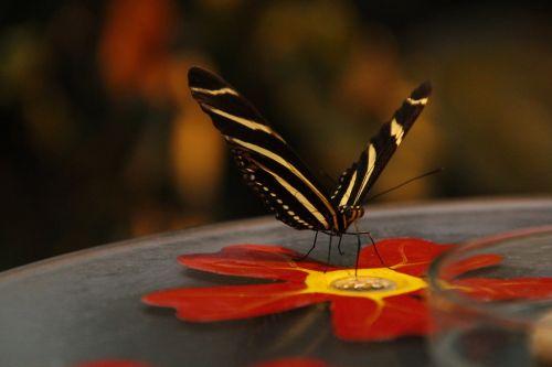 drugelis,ruduo,edelfalter,sparnas,gamta,vabzdys