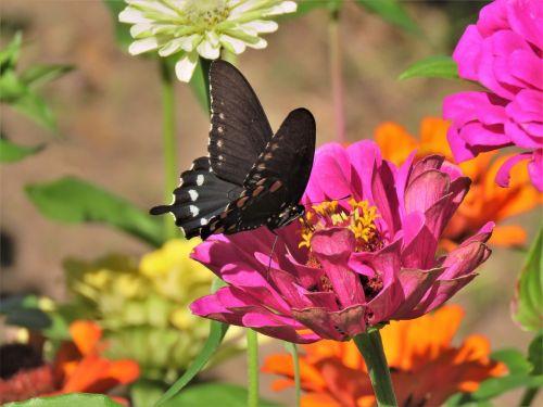 drugelis,juoda ir balta,rožinė gėlė,sodas