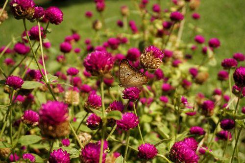 drugelis,sparnai,gėlės,violetinė,vabzdys,gamta,vasara
