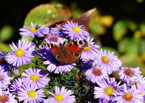drugelis,gėlė,žiedas,žydėti,gamta,ruduo,Uždaryti