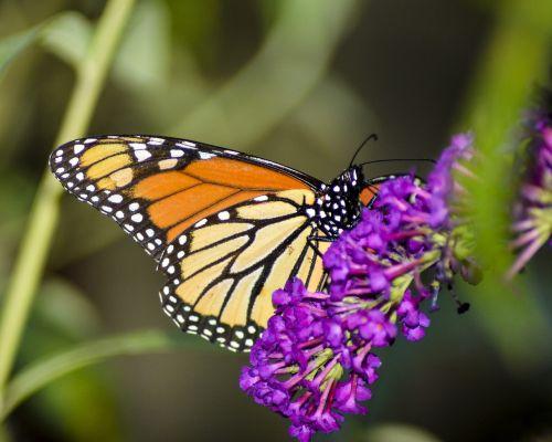 drugelis,vabzdys,gamta,gėlė,sparnas,monarchas,monarchas ant drugelio krūmo,žiedas,sodas,natūralus,spalvinga,nektaras,lauke
