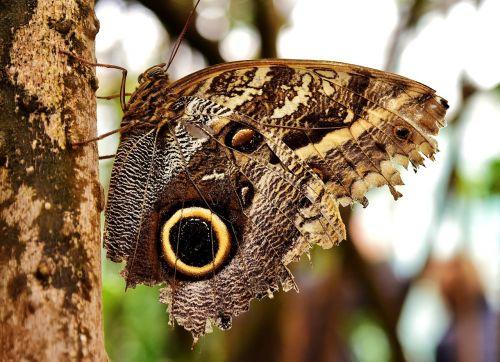 drugelis, pelėdos drugelis, edelfalter, akys, sparnas, maitinimas, gyvūnas, vabzdys, drugelis namas, valgyti, vaisiai, saldus, mityba, proboscis, atogrąžų namas, maistas, egzotiškas, maistas, atogrąžų, be honoraro mokesčio