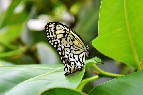 drugelis, vabzdys, sparnas, gamta, Uždaryti, skristi, skrydžio vabzdys, be honoraro mokesčio