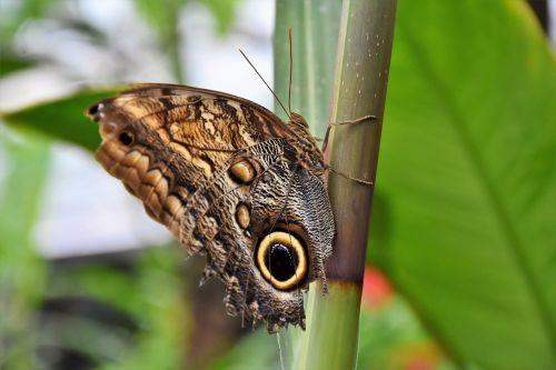 drugelis, atogrąžų drugelis, egzotiškas, vabzdys, sparnas, didelis drugelis, atogrąžų namas, tropiniai drugeliai, drugelis namas, gamta, be honoraro mokesčio