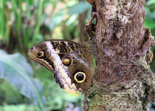 drugelis, vabzdys, pelėdos drugelis, kaligotas, edelfalter, sparnas, gamta, gyvūnų pasaulis, gyvūnas, mediena, laukiniai, egzotiškas, be honoraro mokesčio