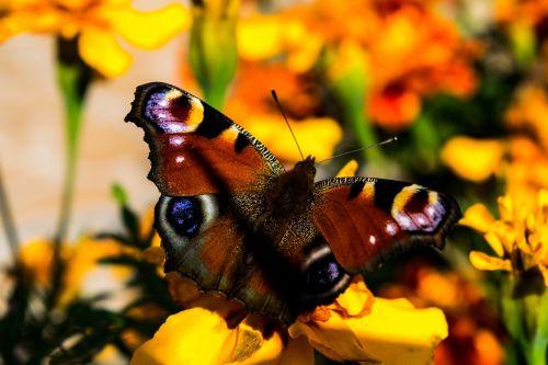 drugelis, gėlės, sparnai, drugelio sparnai, gamta, be honoraro mokesčio