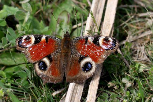 drugelis, pamainos akis, insekta, sparnai, be honoraro mokesčio