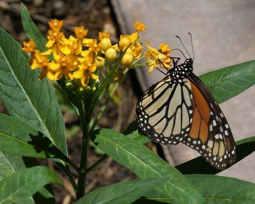 drugelis, vabzdys, pobūdį, lauke, sparnas, monarchas, gėlė, milkweed