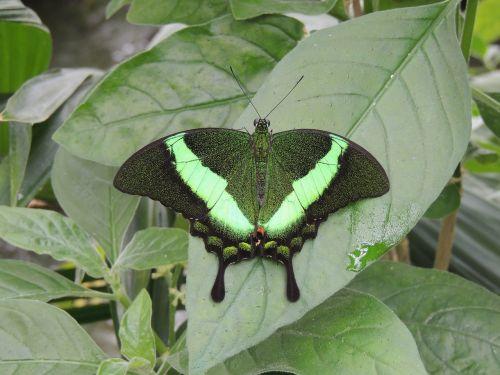 drugelis,gyvūnas,vabzdys,žalias,mirgėjimas,makro
