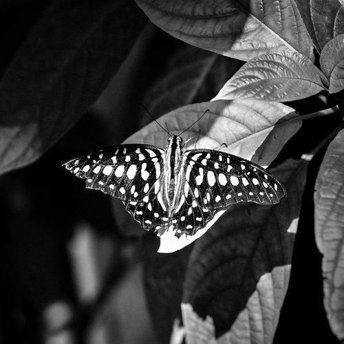 drugelis, vabzdys, pobūdį, vienspalvis, Houston Cockrell drugelis centras, Houston gamtos mokslų muziejus, hmns, graphium Agamemnon, juodas drugelis baltos dėmės