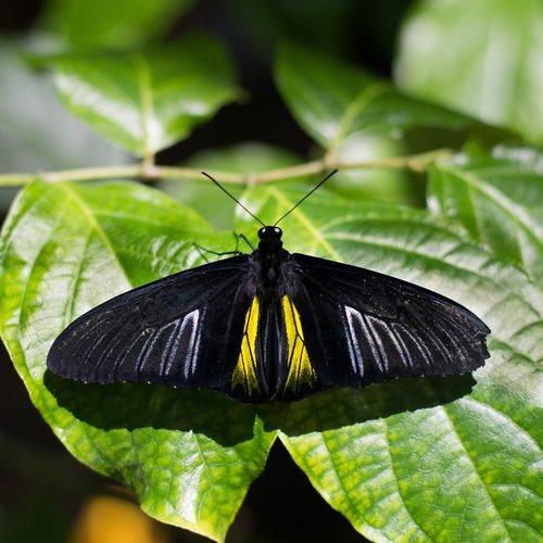 drugelis, vabzdys, pobūdį, Golden Raižytoji drugelis, Houston Cockrell drugelis centras, houstonmuseumofnaturalscience, Houston gamtos mokslų muziejus, juodas drugelis geltonomis juostomis, juodas drugelis su geltona