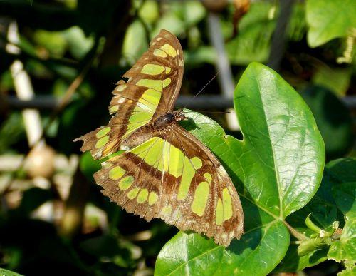 drugelis,egzotiškas,egzotiškas drugelis,gyvūnas,flugtier,atogrąžų,atogrąžų namas