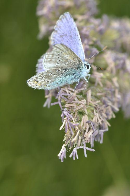 drugelis,makro,vabzdys,klaidas,drugeliai,skraidantis vabzdys mėlynas,ghw