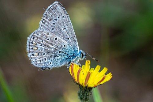 drugelis, žiedas, žydi, vabzdys, makro, makro fotografija, augalų, Iš arti, gamta