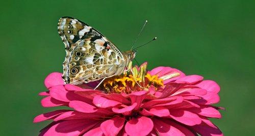 drugelis, vabzdys, makro, gėlė, išdalytas, pobūdį, sparnai