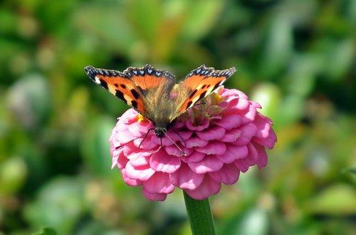 drugelis, vabzdys, gėlė, išdalytas, pobūdį, makro, vasara