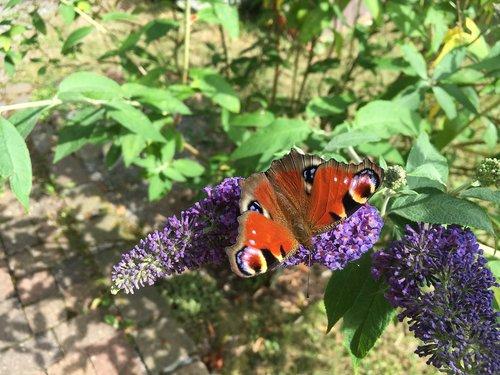 drugelis, žiedas, žydi, vasarą alyvinė, vasara, spalvinga, alyvinis