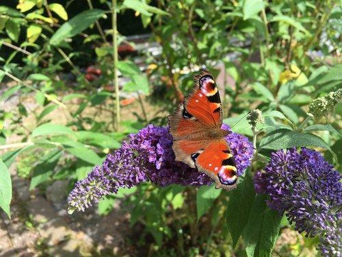 drugelis, vasara, žiedas, žydi, alyvinė, vasarą alyvinė, džiaugsmas, spalvinga, grožybė