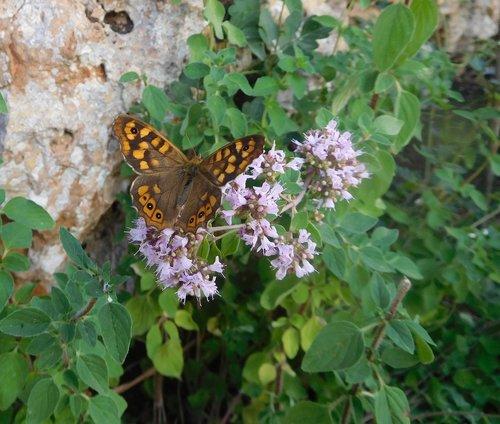 drugelis, nemargų medieną, pobūdį, vabzdys, entomologija, Gyvūnijos, raudonėlis