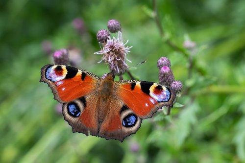 drugelis, vasara, žiedas, žydi, makro, Iš arti, zondas, švelnus, edelfalter, vabzdys, sparnas, straubliukas, akių, nektaro, Thistle gėlių, spalva