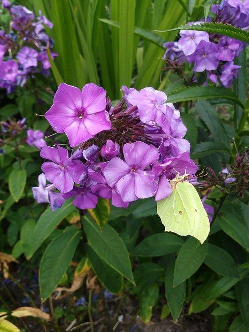 drugelis, citrinukas, žiedas, žydi, gėlė, violetinė, geltona