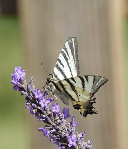 drugelis, levandų, vasara, gėlė, pobūdį, Sodas, apdulkinimas
